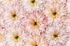 Un ramo de flores de la primavera de crisantemos rojos claros Fondo del primer blanco-rojo-rosado de los crisantemos de las flore Foto de archivo libre de regalías