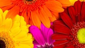 Un ramo de fondo colorido del gerber Foto de archivo