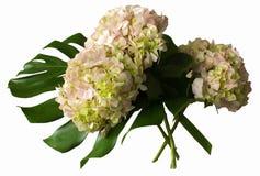 Un ramo de hortensias y de fondo del blanco del monsteraisolatedon Imagen de archivo libre de regalías