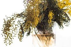 Un ramo de mimosa imagen de archivo libre de regalías