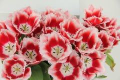 Un ramo de tulipanes blanco-rojos de Terry en el fondo blanco imagen de archivo