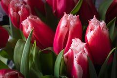 Un ramo de tulipanes en luz natural fotos de archivo libres de regalías