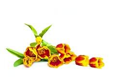 Tulipanes rojos. Imágenes de archivo libres de regalías