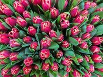 Un ramo de tulipanes rosados oscuros frescos Primer de la visi?n superior fotografía de archivo libre de regalías
