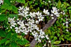 Un ramo dei fiori di ciliegia. Immagine Stock