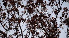Un ramo dei fiori di ciliegia archivi video