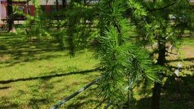 Un ramo del pino che ondeggia nel vento stock footage