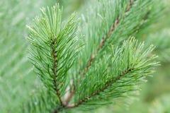 Un ramo del pino con le gocce di pioggia Fotografie Stock Libere da Diritti