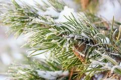 Un ramo del pino coperto di brina, con un fuoco sul centro Fotografie Stock