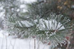 Un ramo del pino coperto di brina nel gelo pesante Immagine Stock