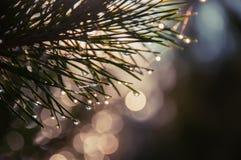 Un ramo del pino nelle goccioline che scintillano immagine stock libera da diritti