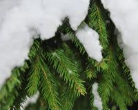 Un ramo dell'abete rosso verde coperto di neve Fotografia Stock