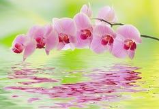 Un ramo dell'orchidea è riflesso nell'acqua Immagini Stock Libere da Diritti
