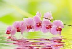 Un ramo dell'orchidea è riflesso nell'acqua Fotografia Stock Libera da Diritti