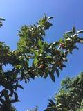 Un ramo della mela Immagini Stock Libere da Diritti