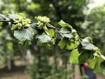 Un ramo della nocciola nel giardino della nocciola immagine stock