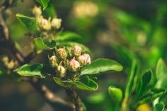 Un ramo della pera con i fiori dei germogli nel giorno soleggiato di primavera Concetto del risveglio della natura fotografie stock libere da diritti
