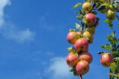 Un ramo delle mele contro un cielo blu con le nuvole Spazio nell'ambito dell'iscrizione fotografia stock