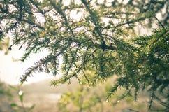 Un ramo di abete alla luce solare Fotografia Stock