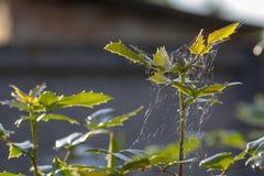 Un ramo di agrifoglio, con i frutti non maturi evergreen fotografie stock libere da diritti