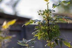 Un ramo di agrifoglio, con i frutti non maturi evergreen immagine stock