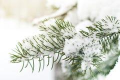 Un ramo di un albero di Natale sotto la neve snowfall Immagini Stock