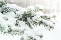 Un ramo di un albero di Natale sotto la neve snowfall Fotografia Stock