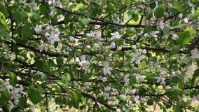 Un ramo di fioritura di di melo in primavera con vento leggero Mela sbocciante con i bei fiori bianchi Ramo di archivi video