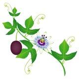 Un ramo di frutto della passione con il fiore e la frutta royalty illustrazione gratis