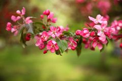 Un ramo di di melo rosa sbocciante immagini stock