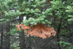 Un ramo di pino morti a metà vivi e mezzi in una foresta Immagine Stock