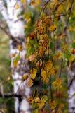 Un ramo di una betulla Immagini Stock