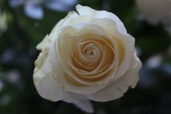 Un ramo hermoso de rosas blancas apelar? a cada mujer Su fragancia real conquistar? cada imagen de archivo