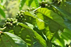 Un ramo in pieno con i mazzi verdi di chicco di caffè Immagine Stock