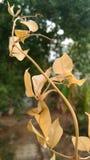 Un ramoscello delle foglie asciutte Fotografia Stock Libera da Diritti