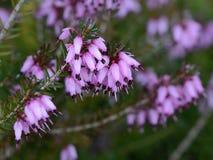 Un ramoscello di fioritura dell'erica dettagliatamente Fotografia Stock