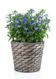 Un ramoscello di lobelia blu in vaso, Fotografie Stock