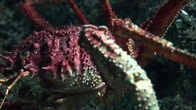 Un rampement crustacéen laid clips vidéos