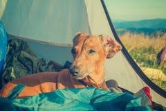 Un randonneur de chien Image modifiée la tonalité Photos stock