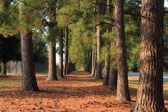 Un rastro de pinos Foto de archivo libre de regalías