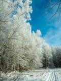Un rastro del esquí en bosque nevoso del invierno Imagenes de archivo