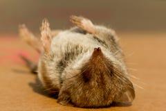 Un ratón Foto de archivo