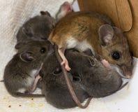 Un ratón de casa de la madre y su cría fotos de archivo libres de regalías