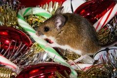 Un ratón de casa marrón, musculus de Mus, con su pata en un bastón de caramelo, sentándose en el medio de una pila de decoracione Imagen de archivo