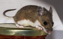 Un ratón de casa marrón salvaje adorable, musculus de Mus, sentándose en un tarro de comida en un armario de cocina foto de archivo libre de regalías