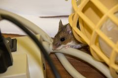 Un ratón de casa marrón salvaje que enrolla su manera a través del cableado eléctrico imágenes de archivo libres de regalías