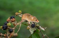 Un ratón de cosecha eurasiático en una planta de la zarzamora fotografía de archivo