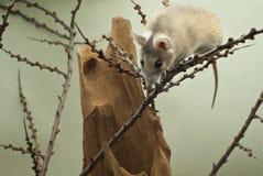 Un ratón espinoso africano lindo sube sobre las ramitas foto de archivo