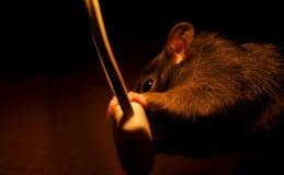 Un ratón marrón fotos de archivo