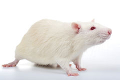 Un rat blanc Photo libre de droits